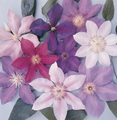 how to make clematis bloom all summer