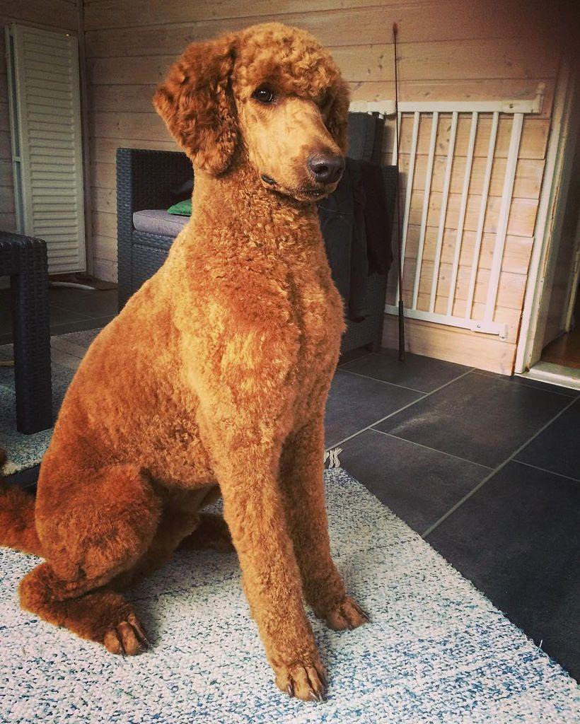 Sooo handsome . Newly trimmed and super fluffy soft  #redpoodle #storpudel #standardpoodle #standardpoodlesofinstagram #dogphotography #lovemydog #lovemypoodle #fluffy #softness #handsomedog #isovillakoira #villakoira #caninepho