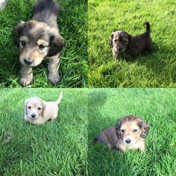 Litter Of 8 Dachshund Puppies For Sale In Puyallup Wa Adn 33854