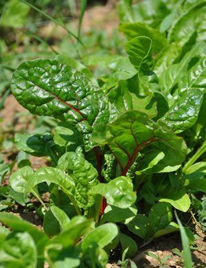 Mangold im Gemüsebeet selbstanbauen