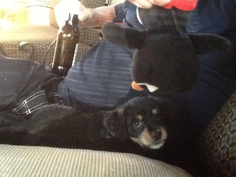 Baby Rudy Dachshund mix, Chihuahua, Yorkie