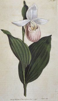 Pink white lady slipper minnesota state flower flowers flowers pink white lady slipper minnesota state flower mightylinksfo