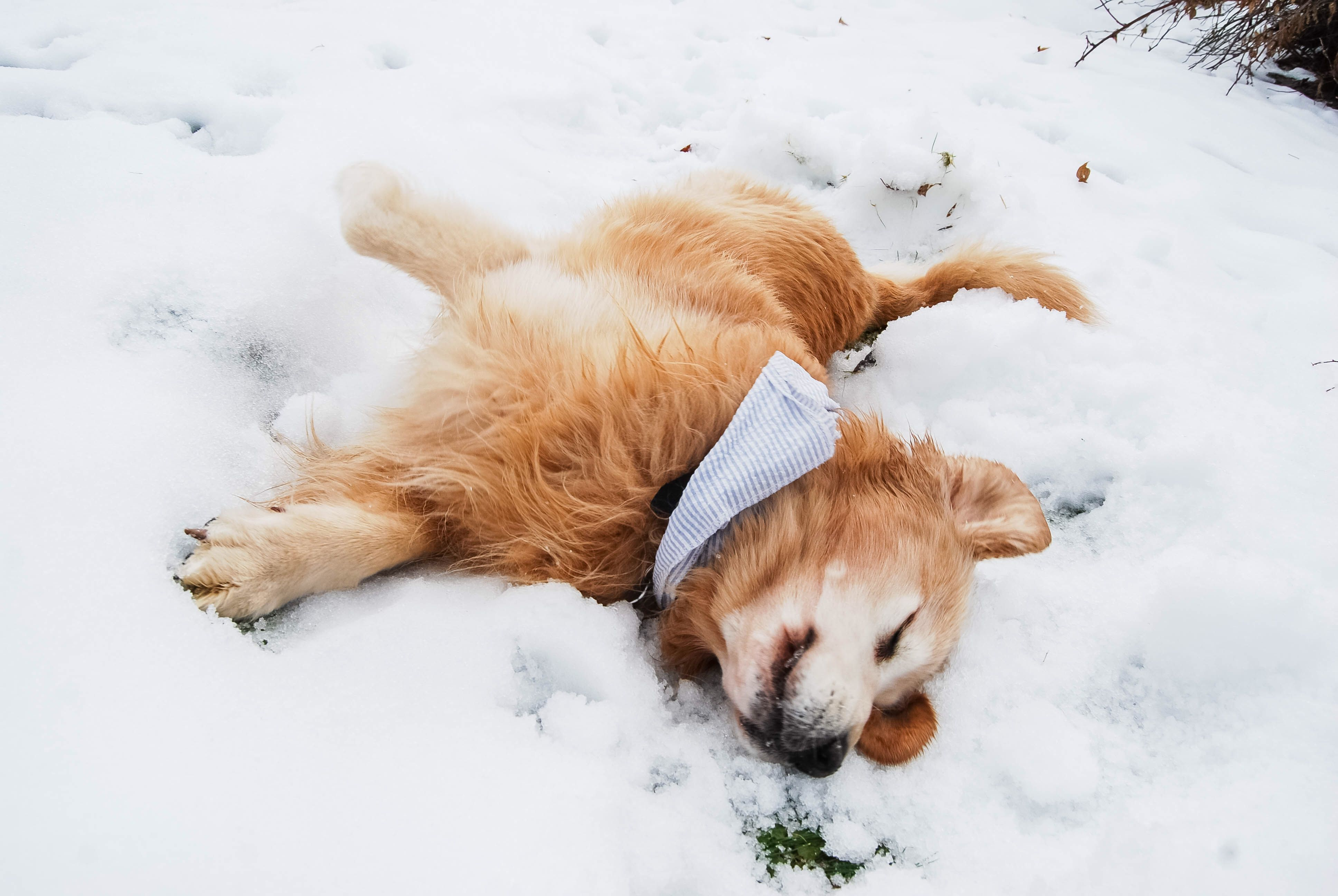 Handsome Golden Retriever Playing In The Snow Maine Dog Loving