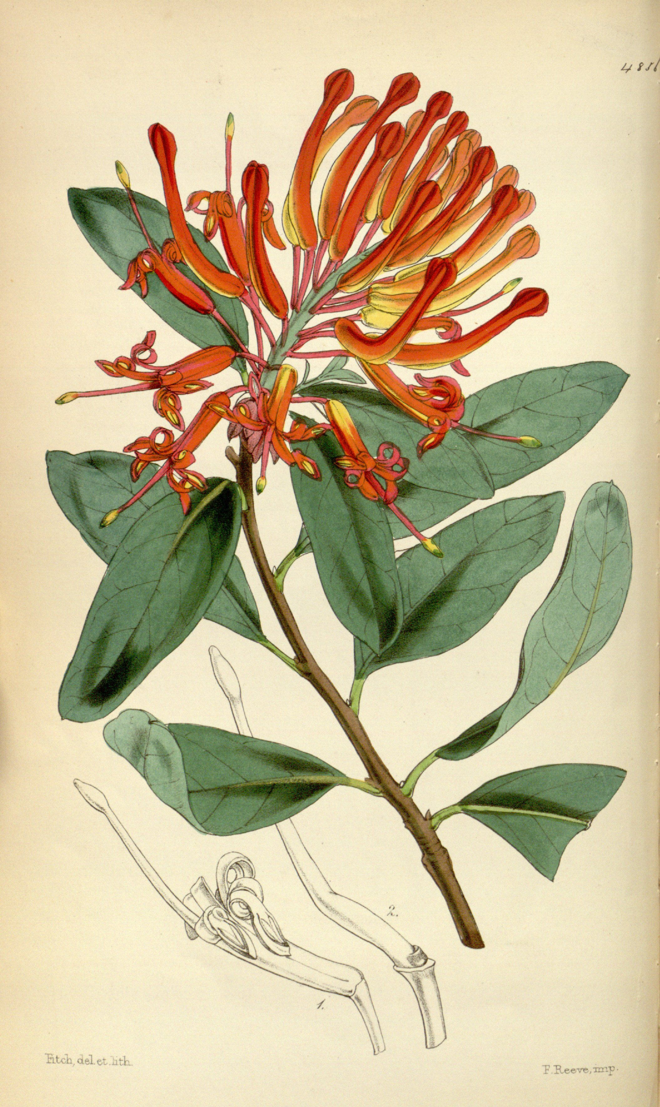 Embothrium Coccineum Forster Forster F Curtis S Botanical Magazine Vol 81 Ser 3 Vol Botanical Art Drawing Botanical Prints Free Botanical Illustration