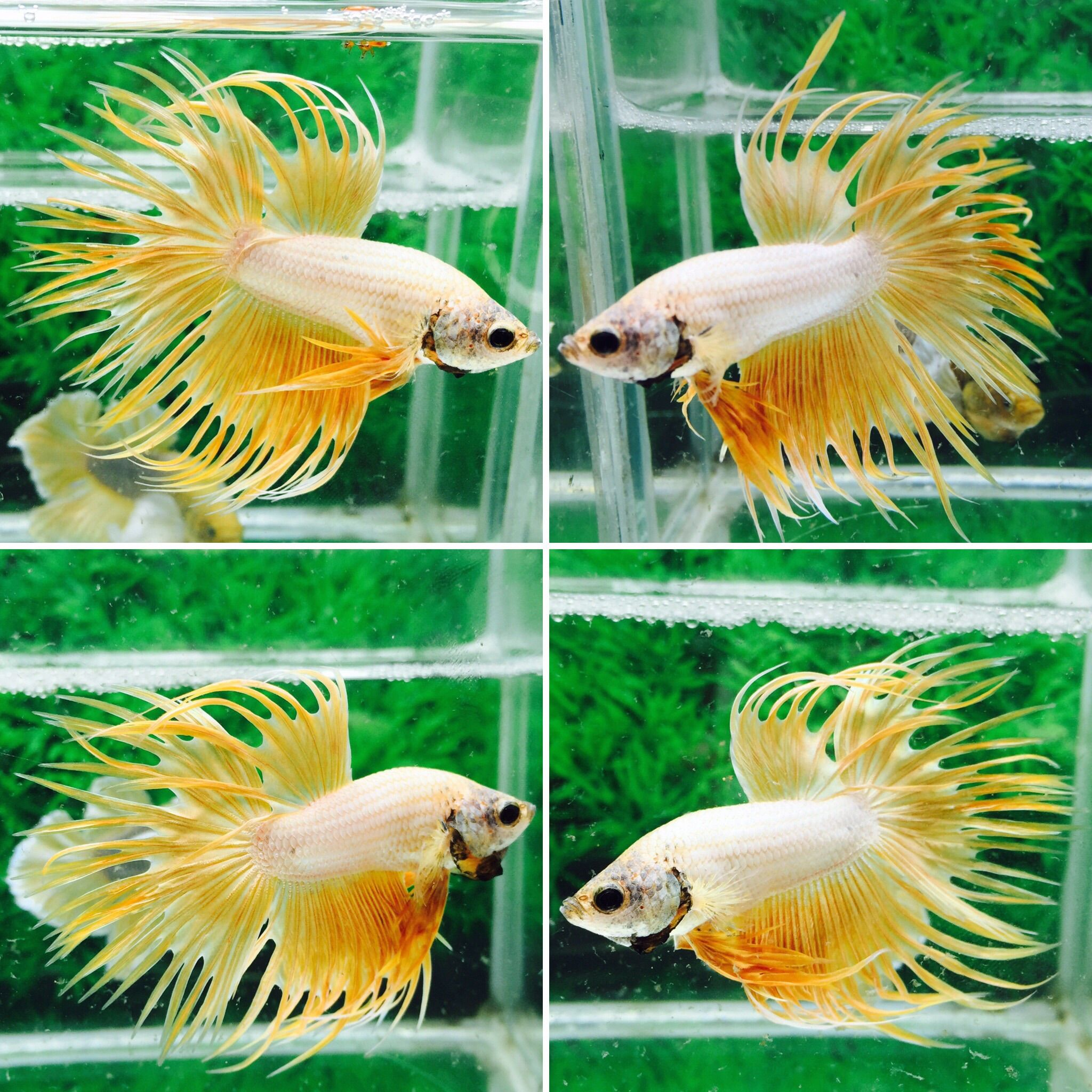fwbettasct1481522149 - +++Yellow Dragon-CT-male+++ | Beautiful Betta ...