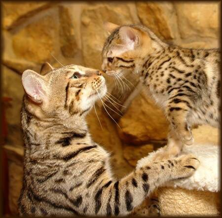 Bengal mommy and baby baby so precious!