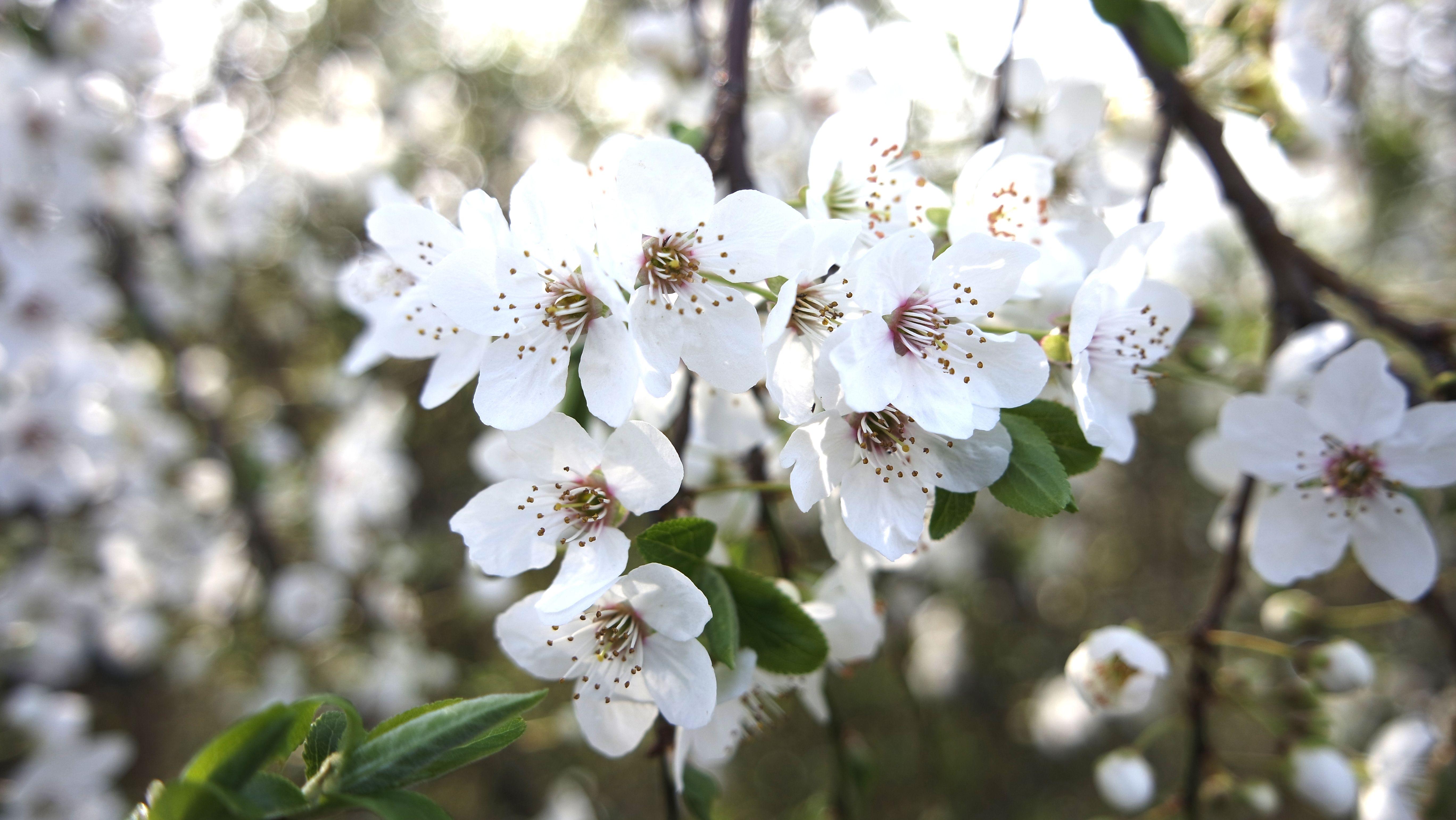 White Tree Flowers Cherry Blossoms Cherry Blossom Images White Cherry Blossom White Tree