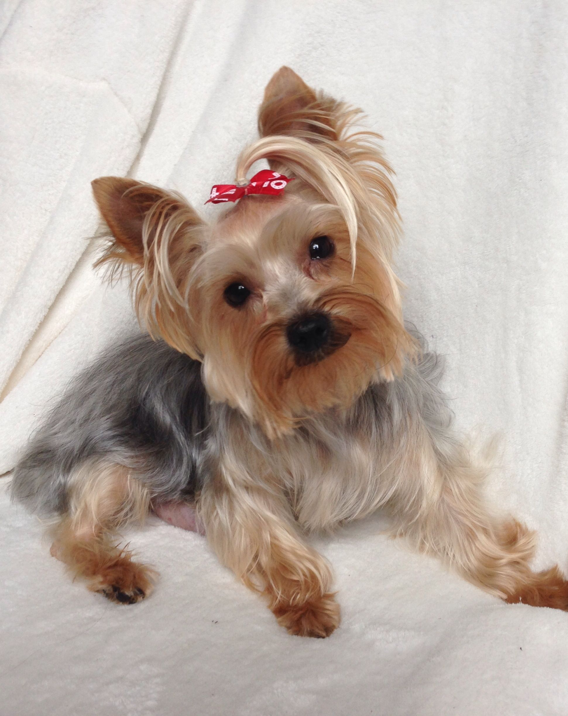 Heart Of Dixie Yorkshire Terrier Yorkie Yorkshire Terrier Dog
