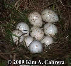 Harpy eggs