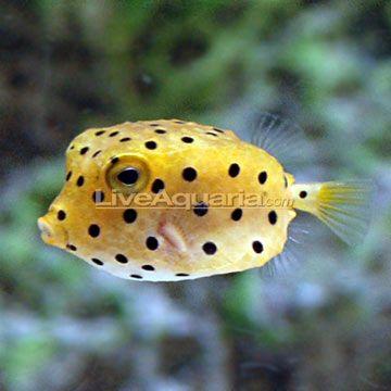 Cubicus Boxfish Ostracion Cubicus We Have One He Is Too Cool Fish Saltwater Aquarium Fish Aquarium Fish