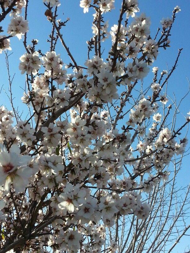 Almond Tree Phoenix Az Almond Tree Tree Plants
