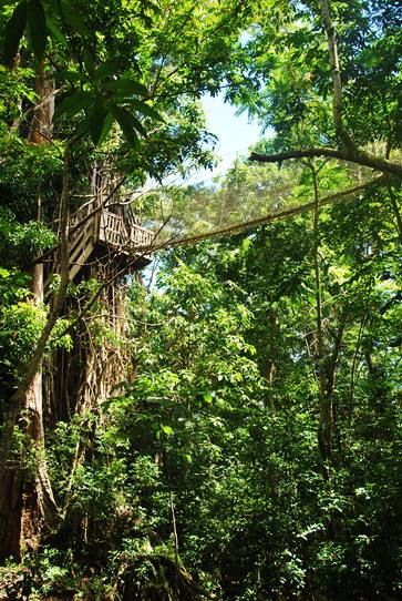 Tropical Rainforests Facts Plants and Animals in Samoa Rainforest Canopy Walkway & Rainforest Canopy Walkway - Ingenious Engineering Feat ...