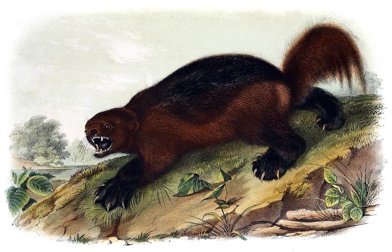 Wolverine.  John James Audubon, from The quadrupeds of North America vol. 1, by John James Audubon and John Bachman, New York, 1851.