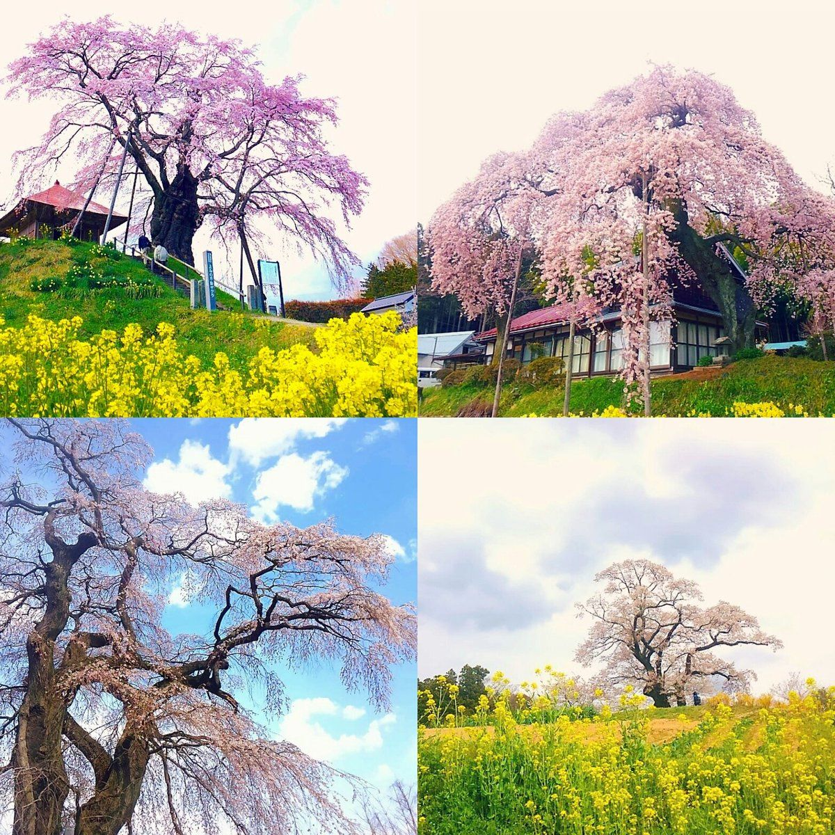 """デューク天照さんのツイート: """"福島県は一本桜の数が日本一。バスは1日3本しかないし最寄り駅まで歩いて2時間くらいかかるド田舎だけど、桜の季節だけは福島に住んでて良かった!ってなります。#東北でよかった https://t.co/k5SyIuO3nY"""""""