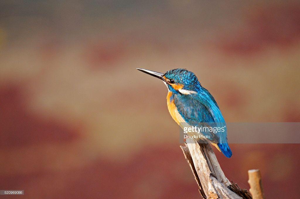 Common kingfisher, alcedo atthis eurasian kingfisher