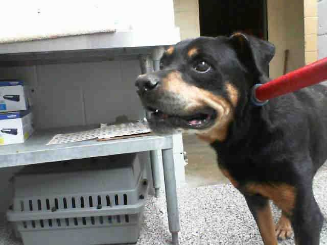 SAFE --- AUSTIN - ID #A473248 (MUST EXIT ON 9/30) Maria's VIDEO (HELP! He has a hard time standing!): http://www.youtube.com/watch?v=DKMhuOUvU1Y upset at intake ~ kennel 4 I am a male, black and tan Rottweiler.  Shelter staff think I am about 9 years old. ... San Bernardino City Shelter - Phone: 909-384-1304, Address: 333 Chandler Pl., San Bernardino, CA 92408. https://www.facebook.com/photo.php?fbid=10202202853866687&set=a.3186215868195.111836.1649756531&type=3&theater