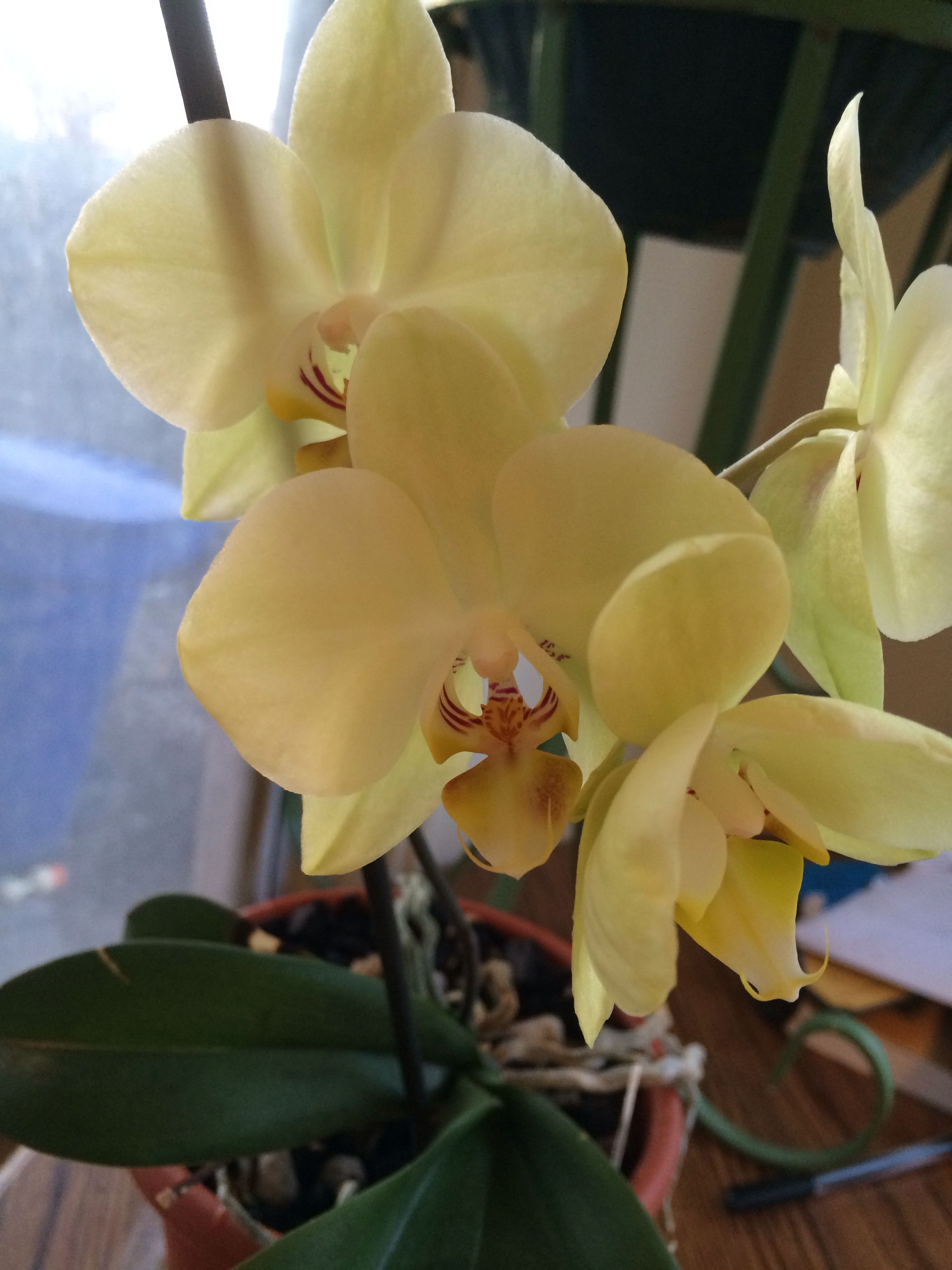 Pale Yellow Phalaenopsis Orchid Plant Flower Orchid Phalaenopsis Orchid Orchid Plants Planting Flowers