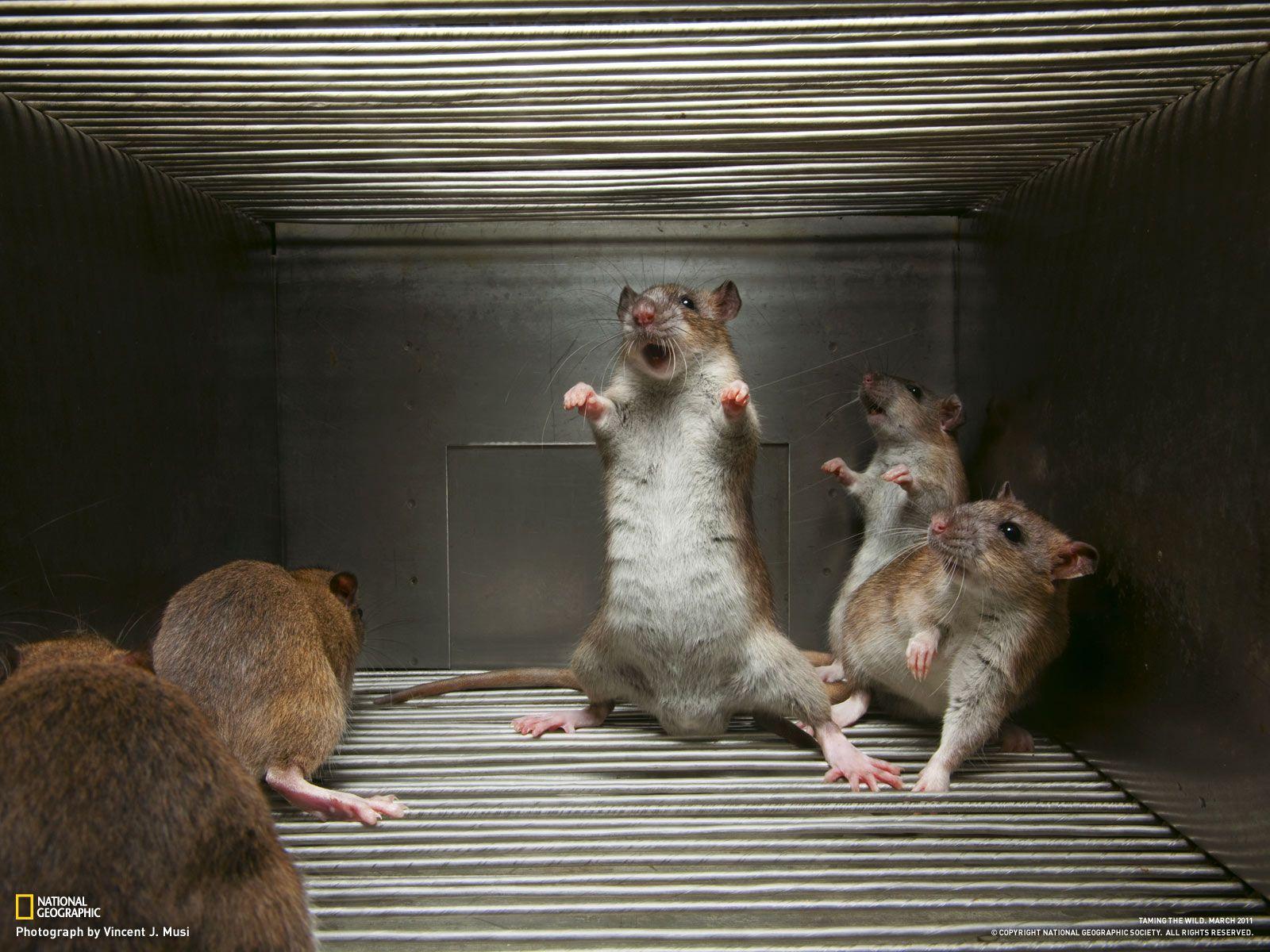 Animals #Rats   Animals, Funny rats, Cute animals