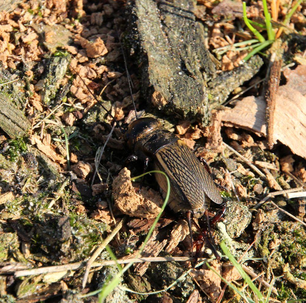 field cricket ( Gryllus campestris) - veldkrekel (Gryllus campestris)