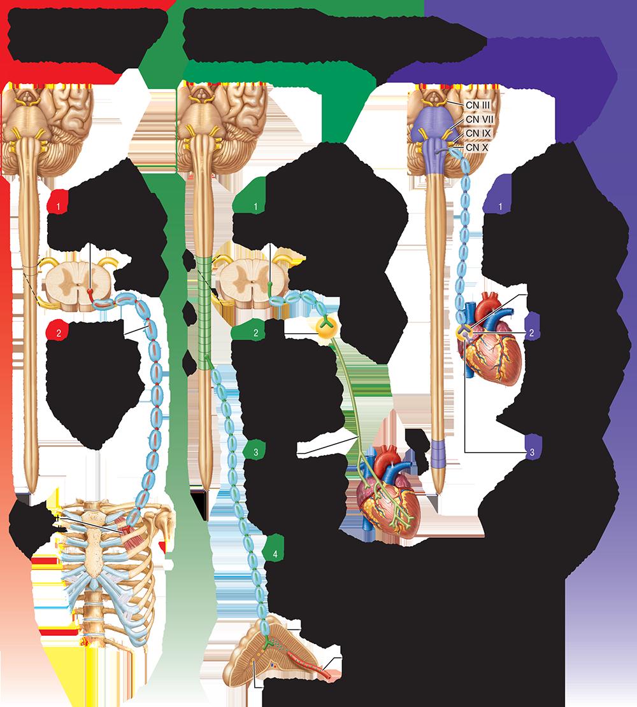 Famous Anatomy Of Autonomic Nervous System Frieze Anatomy Ideas