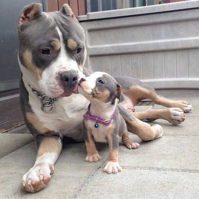 White Grey And Brown Pitbulls Cute Animals Animals Cute Dogs