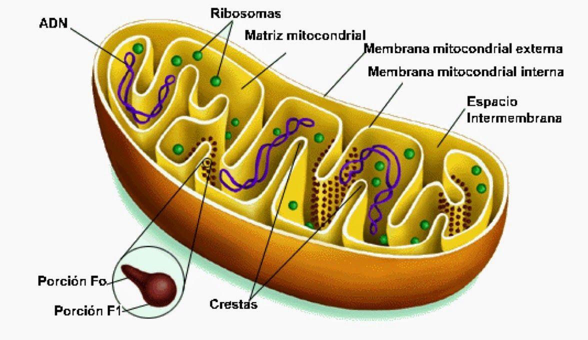 Resultado de imagen para modelos de ribosomas Biyoloji