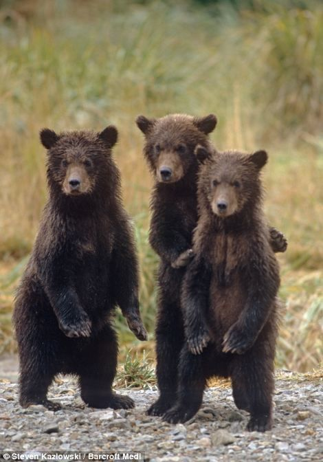 """Three little bears: The trio of cubs stand on their hind legs as they wait for the return of their mother  