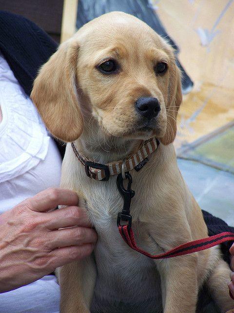 Cavador Info Temperament Care Training Puppies Pictures Puppy Pictures Puppies Bulldog Dog