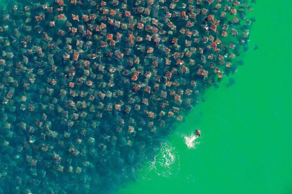 """Herd of Manta Rays (edit: technically, a """"fever"""" of manta rays.)"""