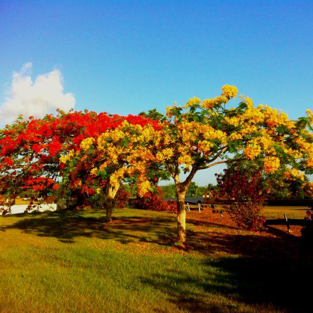 Flamboyan | Mi isla,mi encantó;Puerto Rico!!!! | Fotos de puerto ...
