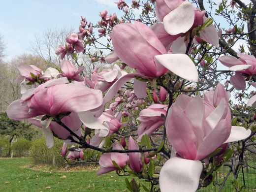 15 Types Of Magnolia Trees And Shrubs With Photos Magnolia Tree Landscaping Magnolia Trees Magnolia Shrub