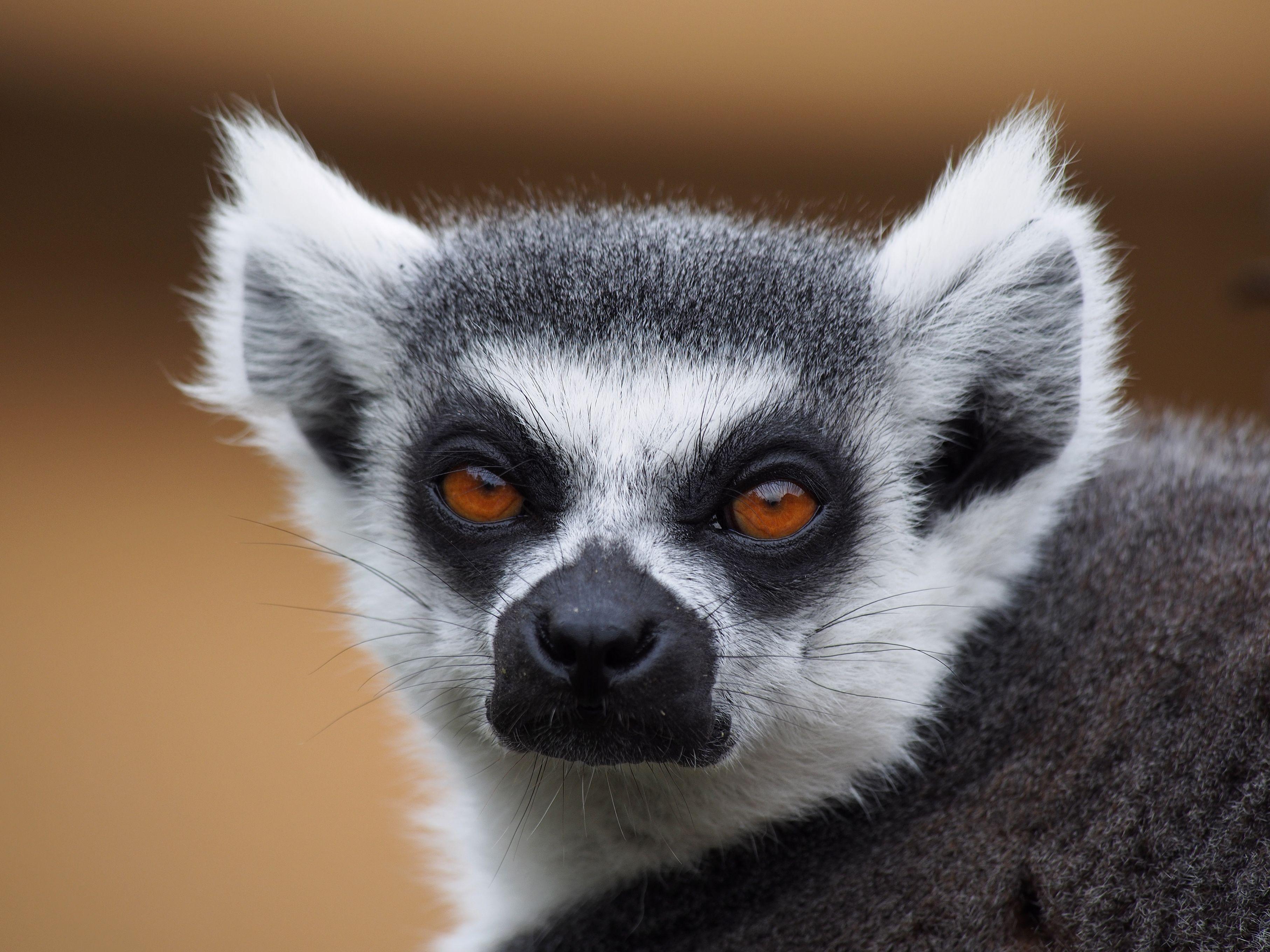 Image result for ring tailed lemurs