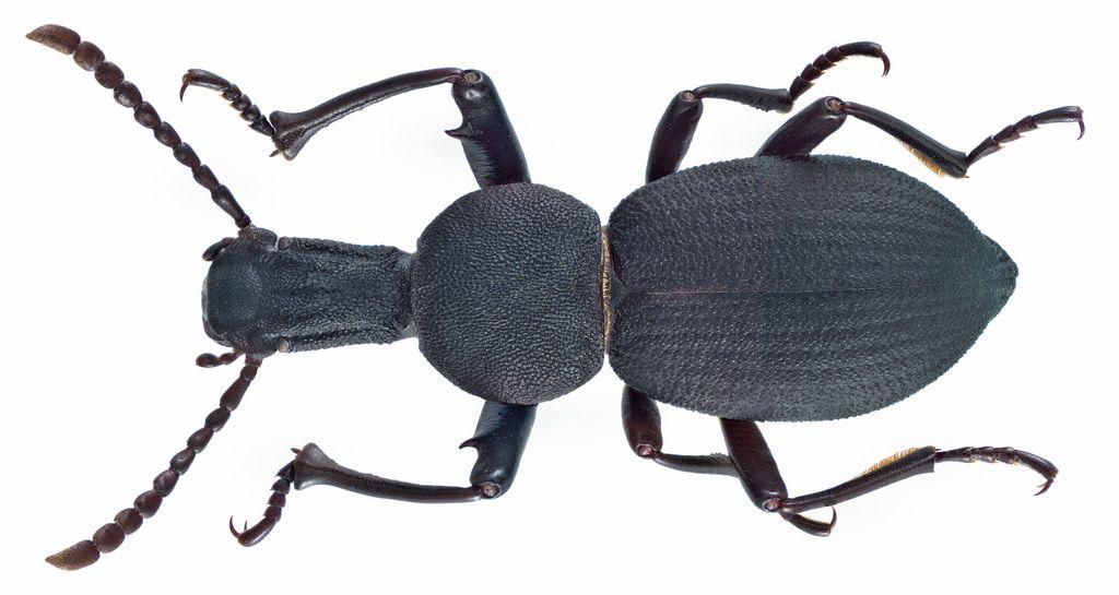 family tenebrionidae size 14 2 mm location turkey marmaris daracya