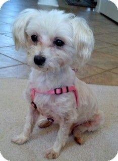 Waterbury Ct Maltese Meet Stewart A Dog For Adoption Humane