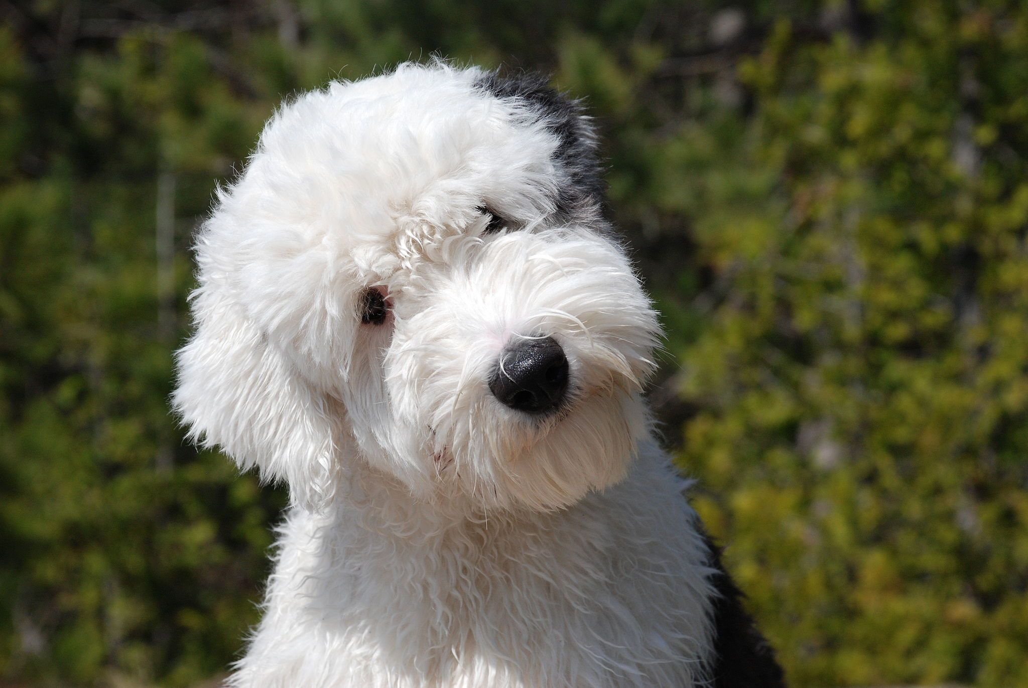 Old English Sheep Dog Dogs I Want English Sheepdog Puppy