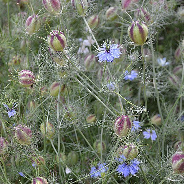 Love In A Mist Seeds Nigella Damascena 220