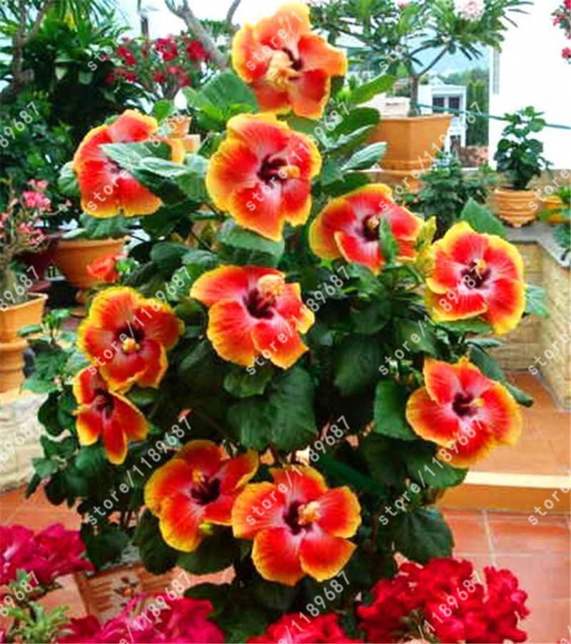 200pcs Bag Hibiscus Flower Seeds Hibiscus Seed Bonsai Flower Seeds 24 Colors To Choose Plant For Home Garden Hibisc Rose Seeds Hibiscus Plant Growing Hibiscus