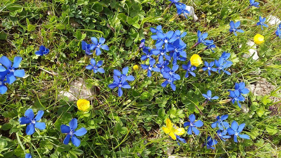 Genciana, Flores De Montaña, Gentiana Sierrae, Flor