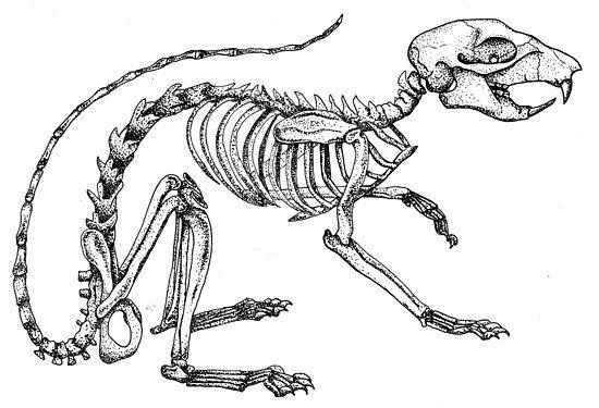 r u00e9sultat de recherche d u0026 39 images pour  u0026quot squirrel skeleton
