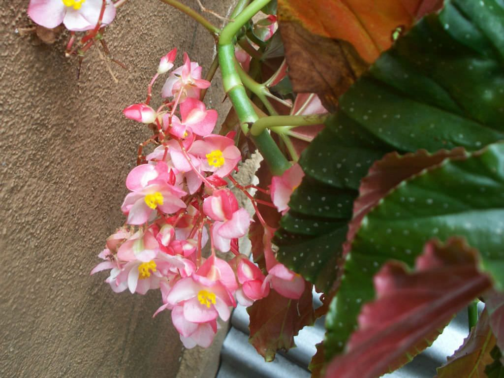 Begonia X Cline Is A Beautiful Easy Care Flowering Plant With Large Angel Wing Shaped Dark Green Leaves Plantopedia Floweringplant