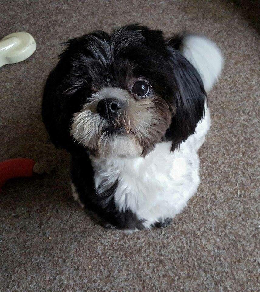 Black Maltese Shih Tzu Puppy 2021