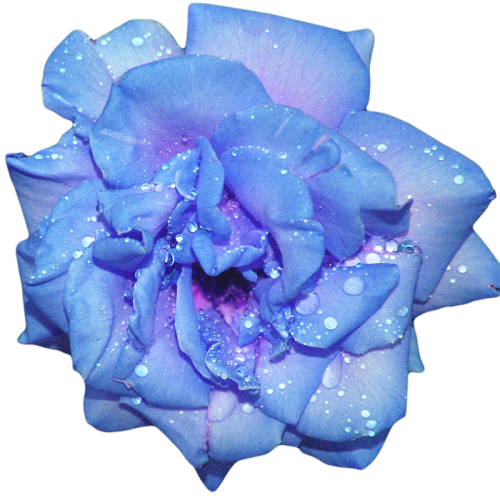An Entry From Transparent Flowers Powered By Tumblr Com Transparent Flowers Flower Clipart Rose Flower Photos