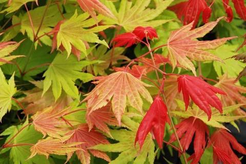 moonrise – Mr Maple │ Buy Japanese Maple Trees #japanesemaple