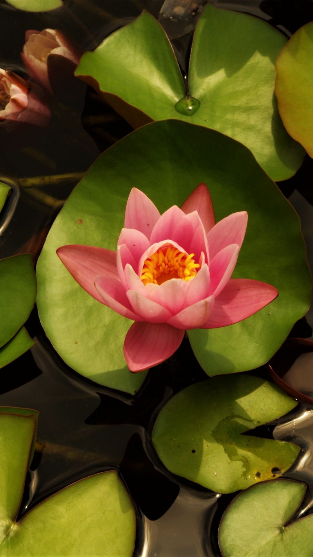 Leaves, pond, water lily, pink wallpaper Water lily