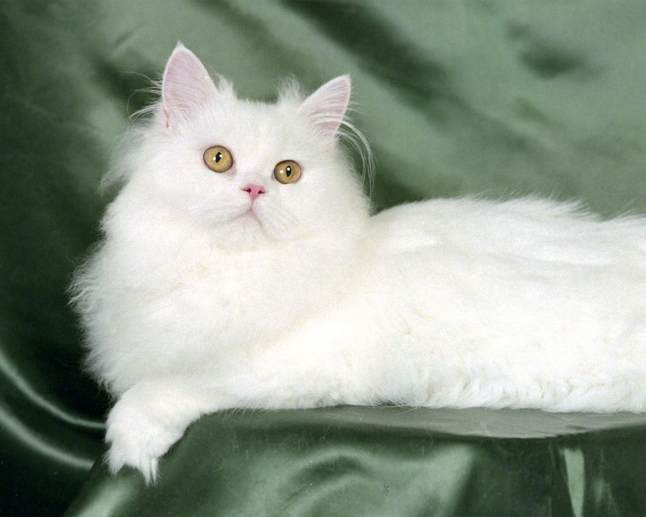 Cats wallpaper Persian cat white, Cat breeds, White cats