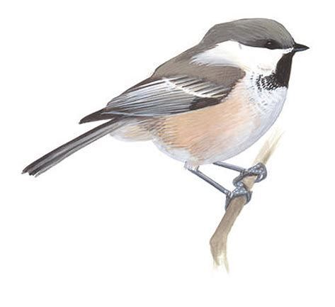 Image result for Chickadee Illustration (With images ... - photo#40