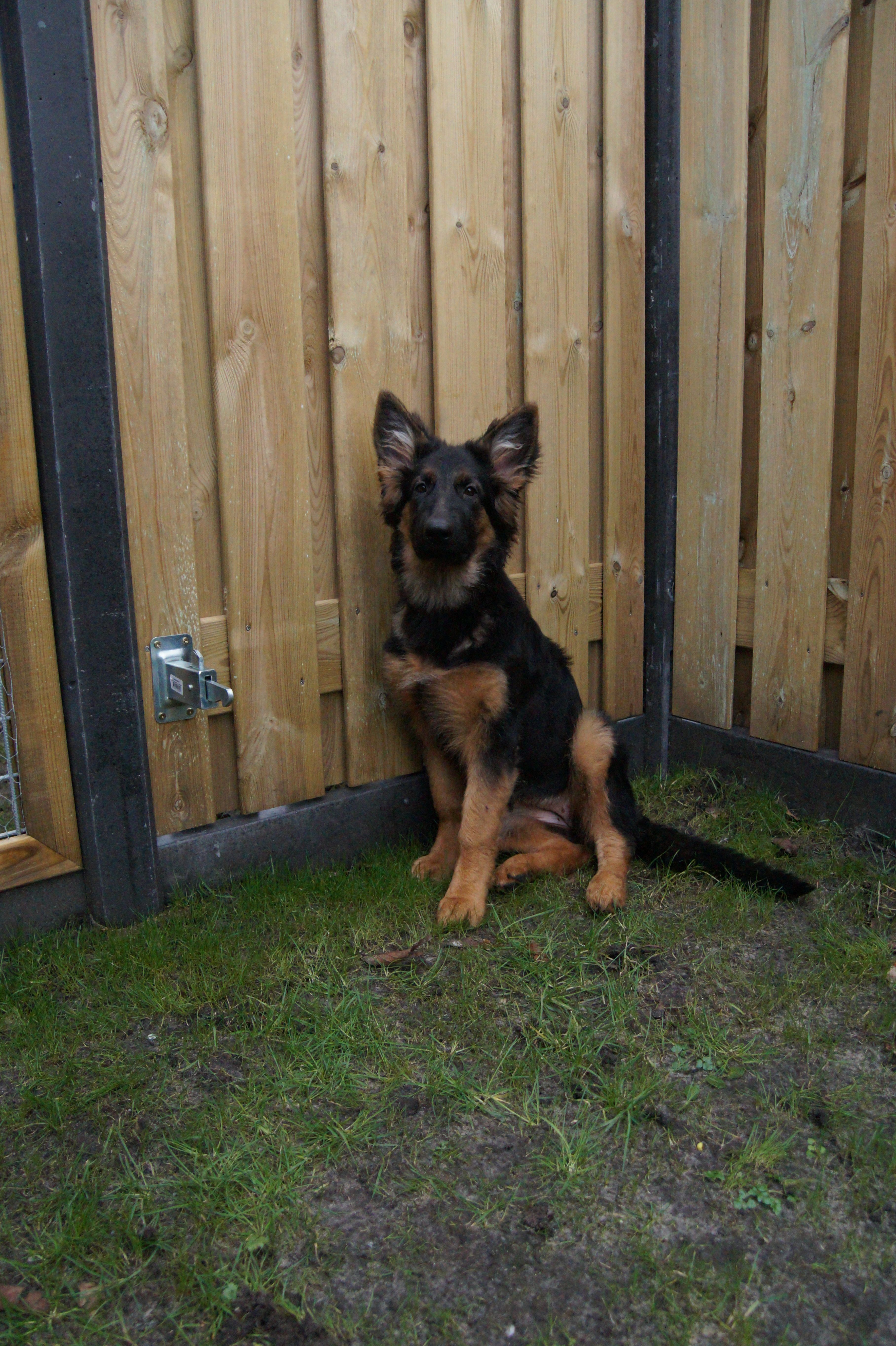 Pin By Steve On Puppys Dogs And Puppies German Shepherd Puppies
