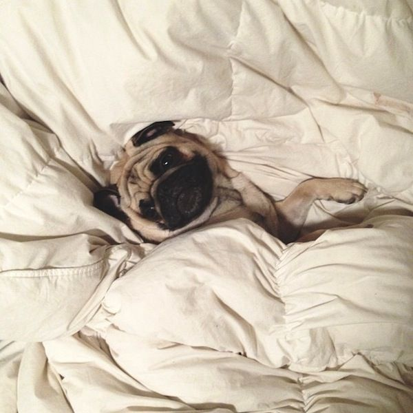 An Adorable Pug With A Charming Personality