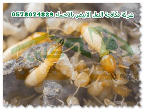 شركة مكافحة النمل الابيض بالاحساء 0578074829 شركة الجوهرة كلين لرش دفان بالاحساء Termite Control Termites Food
