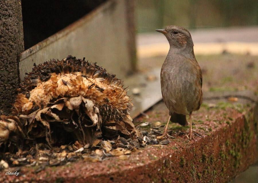 L Accenteur Mouchet Mange Aussi Des Graines En Automne Et En Hiver Accenteur Mouchet Passereau Photo Oiseau